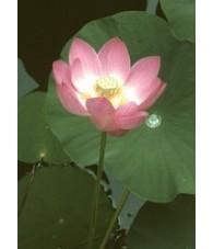 Lotus 7,5-30 ml.