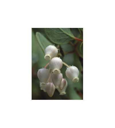 Manzanita 7,5-30 ml.