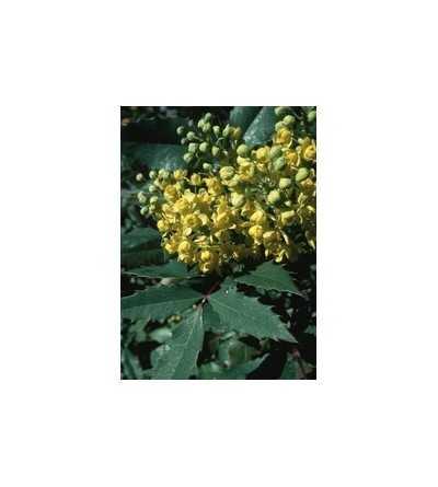 Oregon Grape 7,5-30 ml.