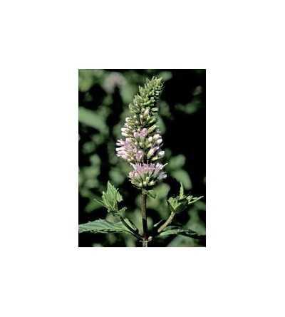 Peppermint 7,5-30 ml.