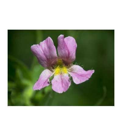 Pink Monkey Flower
