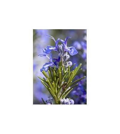 Rosemary 7,5-30 ml.