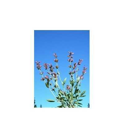 Sage - Salvia 7,5-30 ml.