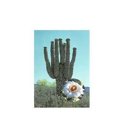 Saguaro 7,5-30 ml.