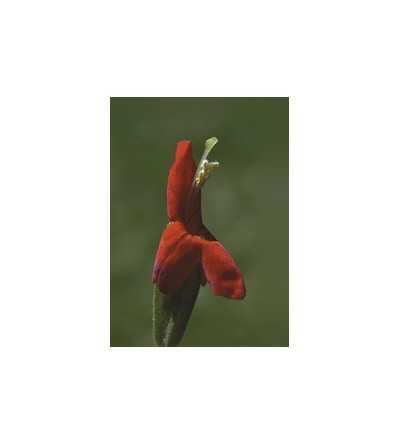 Scarlet Monkey Flower