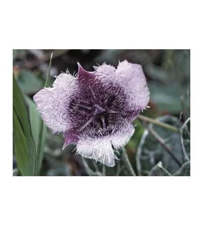 Star Tulip 7,5-30 ml.