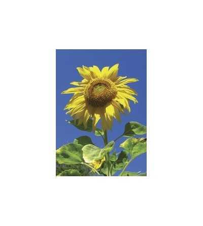 Sunflower - Girasol 7,5-30 ml.