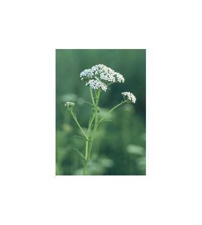 Yarrow - Milenrama  7,5-30 ml.