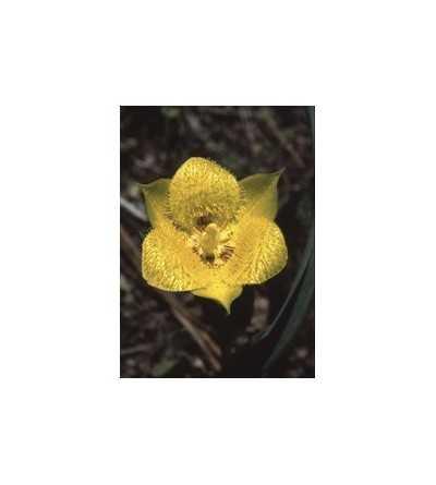 Yellow Star Tulip 7,5-30 ml.