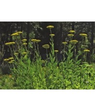 Golden Yarrow 7,5-30 ml.