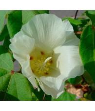Cotton - Algodón 7,5-30 ml.