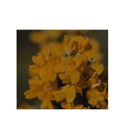 Retama amarilla 10 ml.