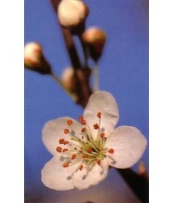 Cherry Plum - Cerasifera 15-30-100 ml.