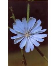 Chicory - Achicoria 15-30-100 ml.