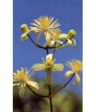 Clematis - Clematide 15-30-100 ml.