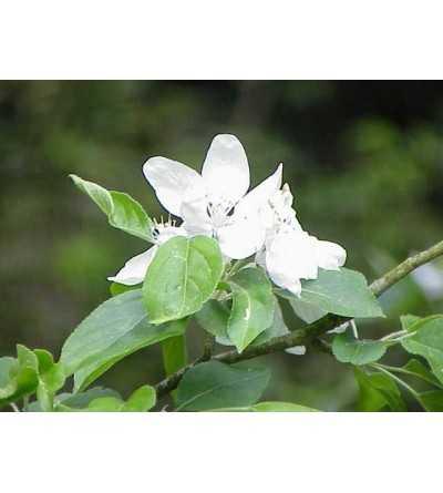 Crabb Apple - Manzano Silvestre 15-30-100 ml.