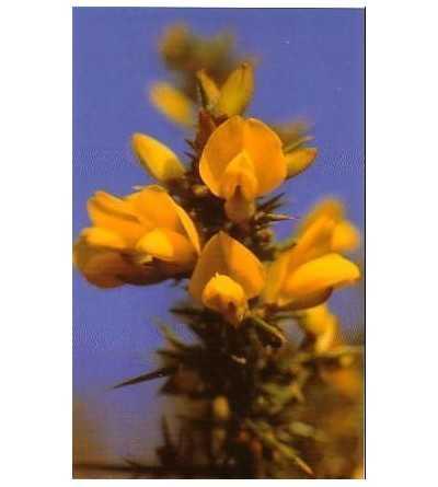 Gorse - Aulaga 15-30-100 ml.