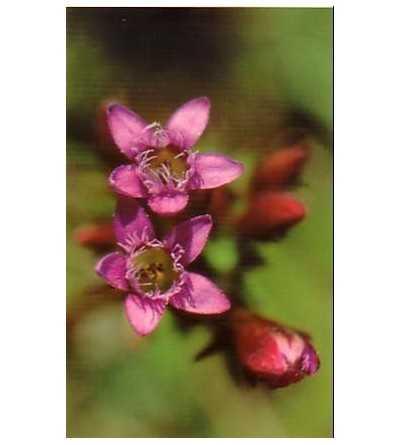 Gentian - Genciana 15-30-100 ml.