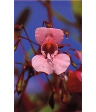 Impatiens - Impaciencia 15-30-100 ml.