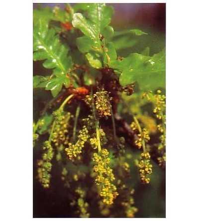 Oak - Roble 15-30-100 ml.