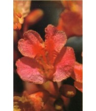 Red Chesnut - Castaño Rojo 15-30-100 ml.