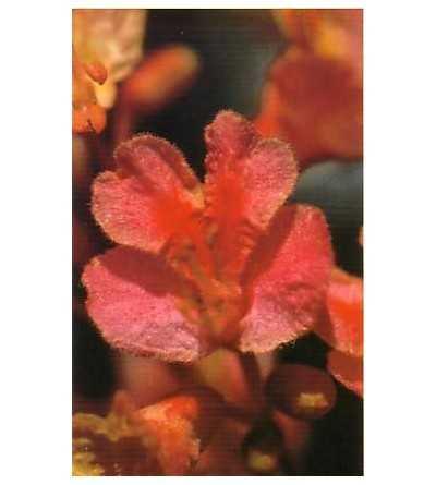 Red Chesnut