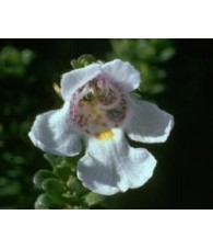 Alpine Mint Bush 15 ml.