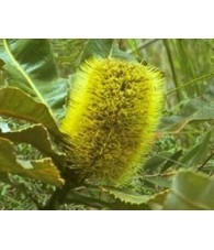 Banksia Robur 15 ml.