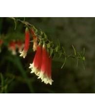 Bush Fuchsia 15 ml.