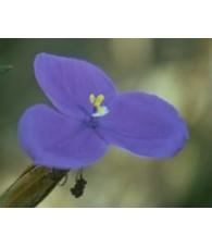 Bush Iris 15 ml.