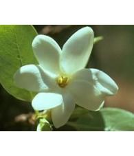 Bush Gardenia 15 ml.