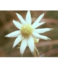 Flanel Flower 15 ml.