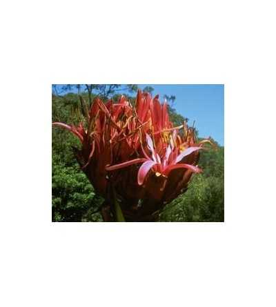 Gymea Lily 15 ml.