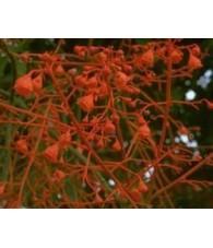 Illawara Flame Tree 15 ml.