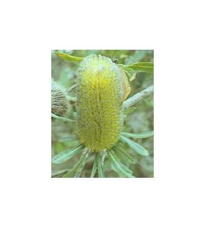 Old Man Banksia 15 ml.
