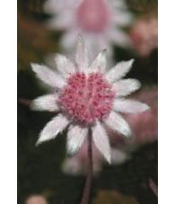 Pink Flannel Flower 15 ml.