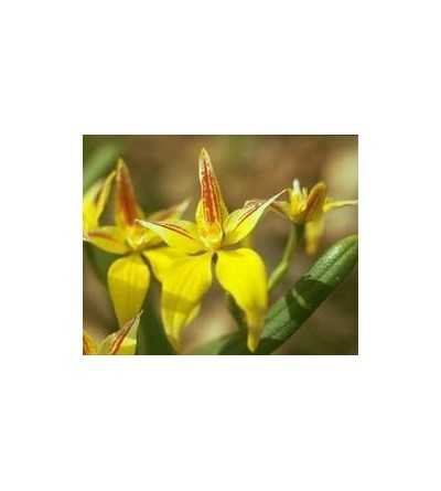 Yellow Cowslip Orchid 15 ml.