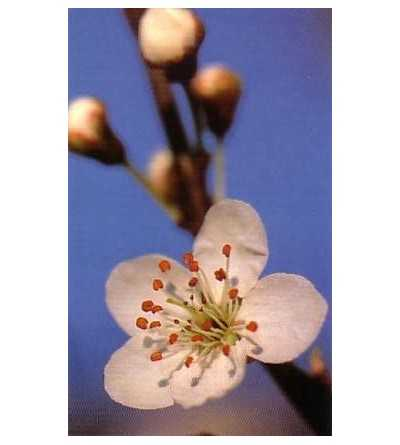 Cherry Plum 10-30 ml.