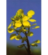 Mustard 10-30 ml.