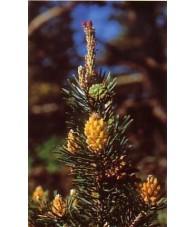 Pine 10-30 ml.