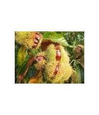 Sweet Chesnut 10-30 ml.