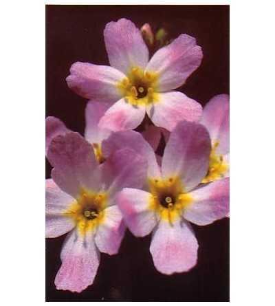 Water Violet 10-30 ml.