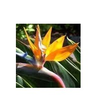 Bird of Paradise 20 ml.