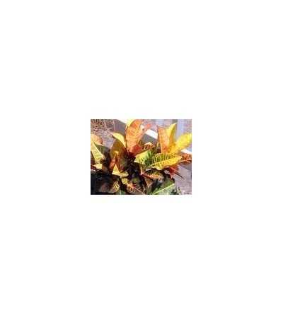 Garden Croton 20 ml.