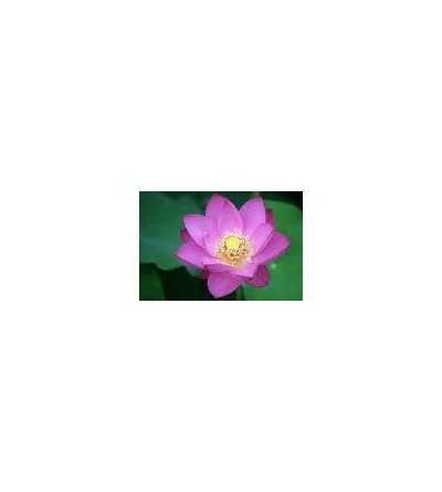 Lotus del Alba 20 ml.