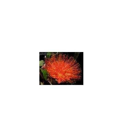 Panama Flame Tree 20 ml.