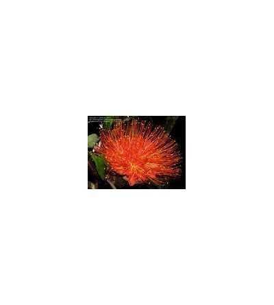 Panama Flame Tree 20 ml.