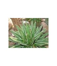 Agave Real 20 ml.
