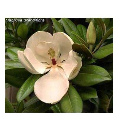 Magnolia 20 ml.