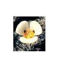 Lirio Mariposa 20 ml.